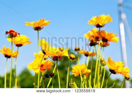 In Italy Dasy Yellow Flower Field