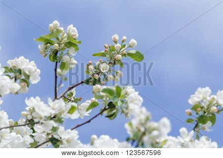 Soft pink and snowy white apple tree flowering branch at blue clear sky background