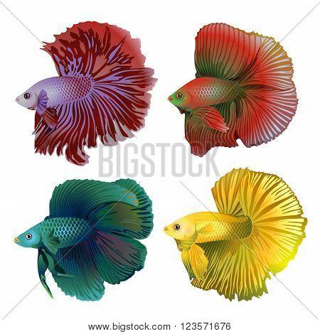 Four colorful aquarium fish on white background