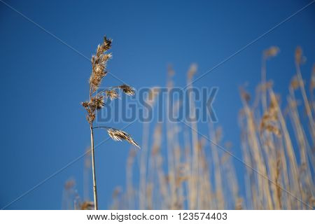 Grass sedge dry on the blue sky. The grass stems in winter snow frosty morning.