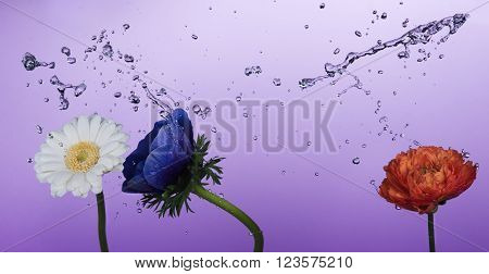 Spring flowers and water splashes on purple background