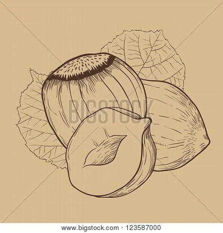 Hazelnut vector isolated on brown background. Hazelnut seeds. Engraved vector illustration of leaves and nuts of Hazelnut. Hazelnut in vintage style.