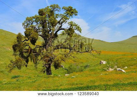 Large oak tree with yellow wildflowers near Tehachapi California.
