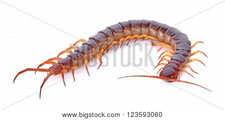 centipede on white background , nature, animal
