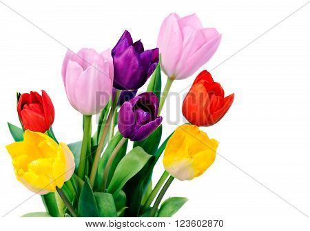 Five colorful tulips isolated on white .