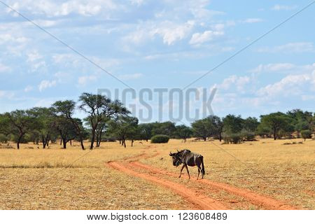 Blue Wildebeest Antelope, Namibia