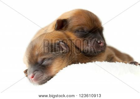 Pomeranian Puppies, Couple Of Days Old