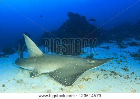 White-spotted Guitarfish (sometimes called Shark Ray)(Rhynchobatus djiddensis)
