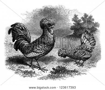 Rooster and Hen Padua silver, vintage engraved illustration. Magasin Pittoresque 1880.