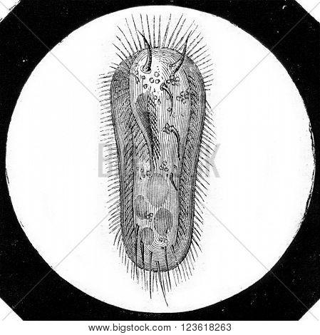 Kerona mytilus, vintage engraved illustration. Magasin Pittoresque 1873.