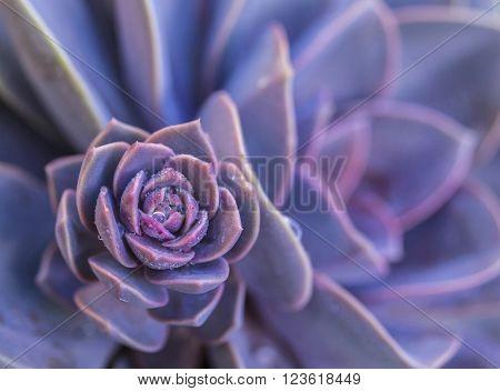 Succulent (Crassulaceae Aeonium) Purple Succulent Plant with water drops