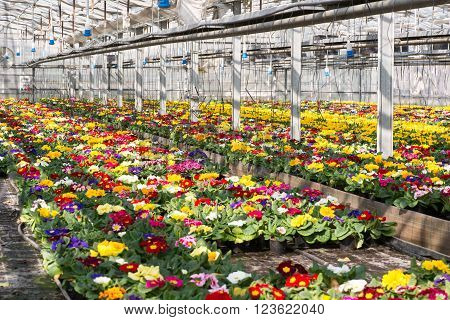 Colorful spring primroses growing in flowerpots in a large hothouse at a nursery or a floriculture farm ready for sale as houseplants