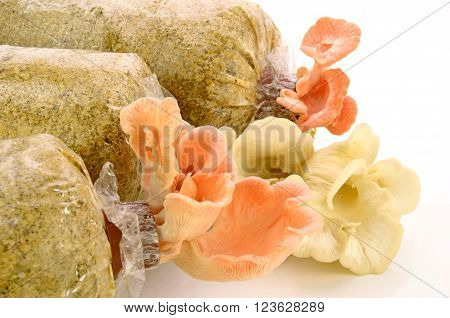 Organic Pink Oyster Mushroom Growing On Mushroon Loaf On White Background.