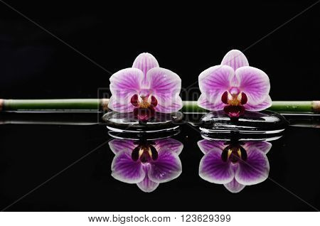 Two orchid with bamboo grove and stones on wet background