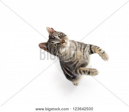 Tabby Cat Jumping
