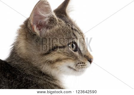 Cute Tabby Kitten On White