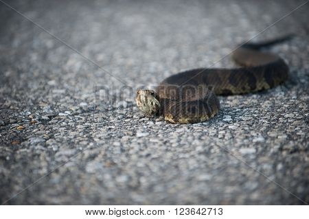 Water Moccasin On The Road