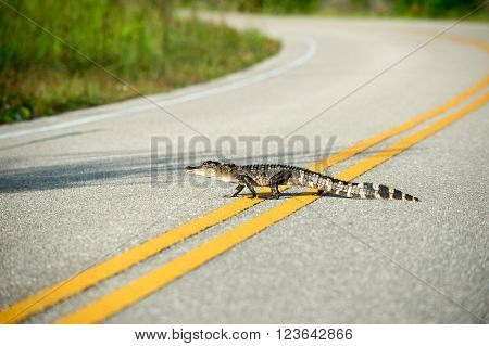 An American Alligator crosses a road in Florida.
