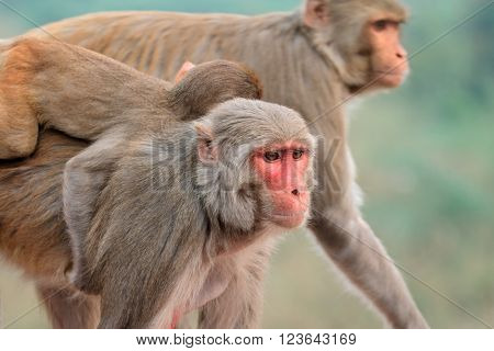 Portrait of rhesus macaque monkeys (Macaca mulatta), India