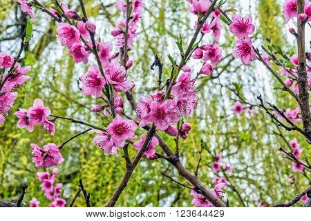 Springtime Peach Blossom