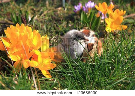 Green-legged Partridge And Dominant Blue Chicks In The Garden With Crocuses.