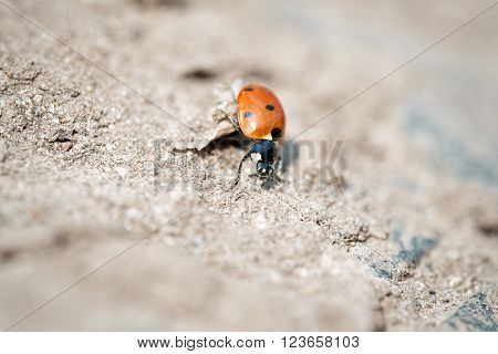 Seven-spot ladybird on sand, bokeh effect background