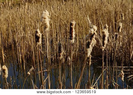A lot of reed in a pond in March