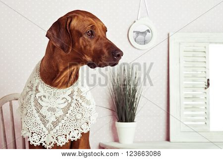 Rhodesian Ridgeback dog dressed like a lady in front of a vanity and a portrait