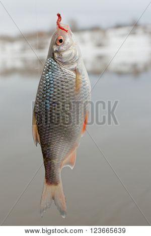 Roach on hook, winter landscape, float fishing