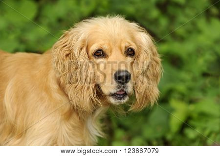 Cocker Spaniel is a closeup of a beautiful golden Cocker Spaniel dog isolated on a soft outdoor nature background.