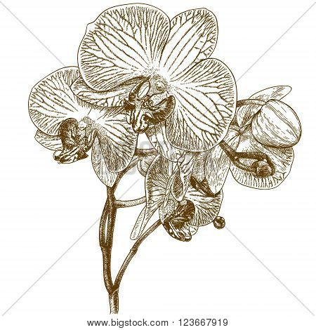 Vecto antique engraving illustration of orchid isolated on white background