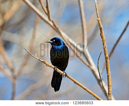 Common Grackles are blackbirds that look like they've been slightly stretched. They're taller and longer tailed than a typical blackbird, with a longer, more tapered bill and glossy-iridescent bodies.