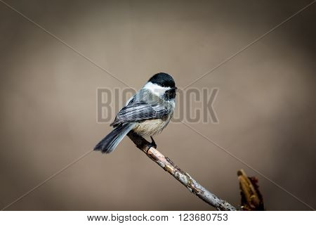 The black-capped chickadee  is a small, non migratory, North American songbird that lives in deciduous and mixed forests. It is a very underrated friendly bird that will gladly take food from hands.