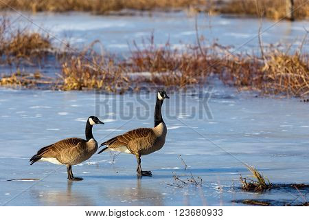 The Canada goose is a large wild goose species with a black head and neck, white patches on the face, and a brown body. Native to arctic and temperate regions of North America.