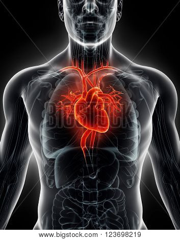 3D Illustration Human Internal Organic - Human Heart.