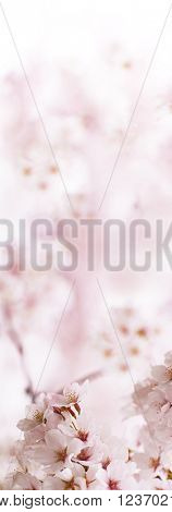 Cherry blossom with pastel pink background. Vertical dimension. Shallow depth of field.