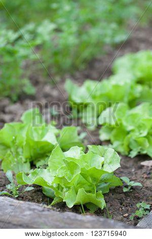 Lettuce growing in rows in the garden bed
