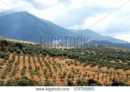 View across olive groves towards the mountains near Periana Costa del Sol Malaga Province Andalusia Spain Western Europe.  Province: Malaga.   Town: Near Periana.   Subject: Olive groves. Axarquia.