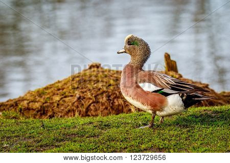 A male american wigeon duck stands by the lake.