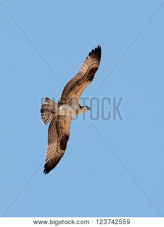 Osprey in flight against a blue sky
