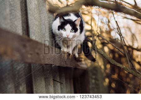 Black and white curious wary cat standing on fence and looking at camera