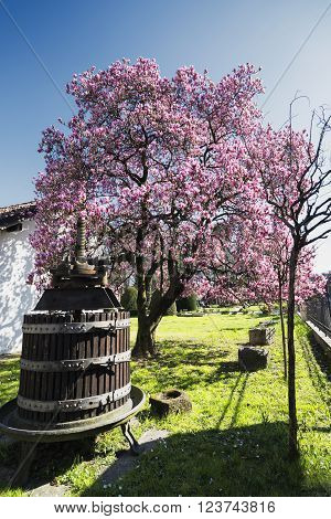 Flowered magnolia and old press in Biassono (Monza Brianza Lombardy Italy) at early spring