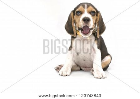 a sitting beagle pup with white background