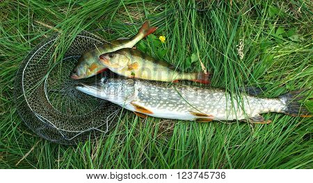 Caught fresh perch and pike lying on the green grass