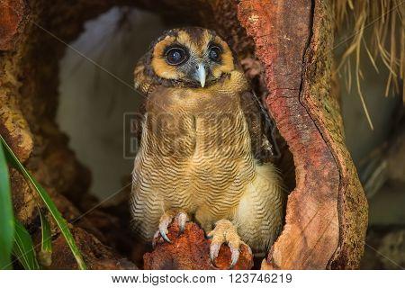 Burung Hantu punggur, brown wood owl in Kuala Lumpur, KL Bird Park, Malaysia ** Note: Visible grain at 100%, best at smaller sizes