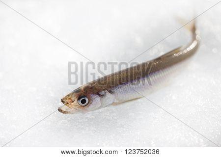 smelt fish on white ice close up