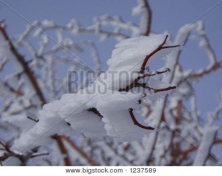 schneebedeckten branch