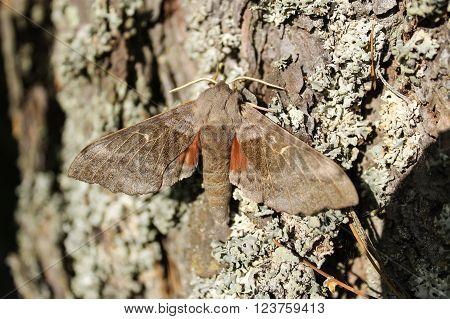 The poplar hawk-moth in a tree. This hawk-moth was sunbathing on a tree bark.