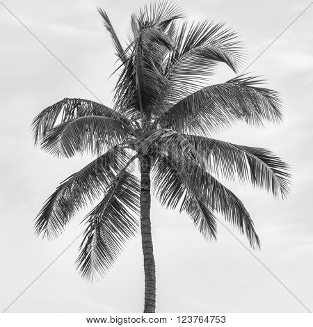 Top of palm tree on cloudy sky background in black and white, square format.