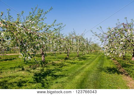 An apple orchard during spring bloom.